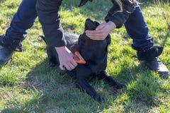 Donna che prende cura del suo cucciolo di labrador, pettinante i peli del cucciolo facendo uso della spazzola del cane immagini stock libere da diritti