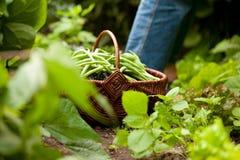 Donna che raccoglie i fagiolini verdi in giardino Fotografia Stock