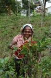 Donna che raccoglie le foglie di tè per una vita, Sri Lanka Fotografia Stock