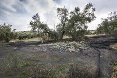 Donna che raccoglie le olive Immagine Stock