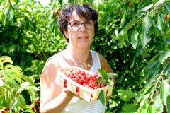 Donna che seleziona ciliegia rossa dall'albero nel giardino di estate immagine stock