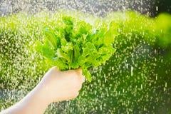 Donna che seleziona insalata fresca dal suo orto Foglie della lattuga sotto le gocce di pioggia Fotografie Stock