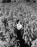Donna che sta nel campo delle piante alte della stella di Natale (tutte le persone rappresentate non sono vivente più lungo e nes Fotografie Stock Libere da Diritti