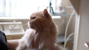 Donna che tiene gatto persiano in suo braccio e che pettina la sua pelliccia archivi video