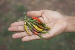Donna che tiene i peperoncini rossi e verdi freschi Immagine Stock