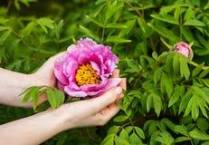 Donna che tiene un fiore della peonia in mani immagini stock libere da diritti