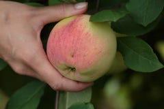 Donna che tiene una mela Immagini Stock