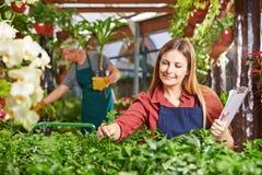 Donna come giardiniere che prende cura delle piante Fotografia Stock