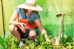 Donna con lo strumento di giardinaggio che funziona nella serra Immagini Stock Libere da Diritti