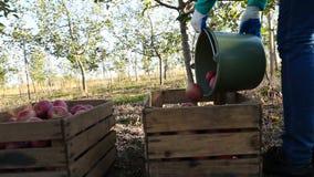 Donna con un secchio delle mele stock footage