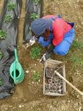 Donna con un semenzale di strawberrie Fotografia Stock