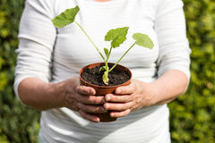 Donna con una giovane pianta del cetriolo Immagine Stock