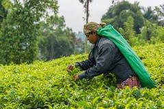 Donna dalla foglia di tè di raccolto della Sri Lanka sulla piantagione di tè Fotografia Stock