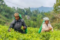 Donna dalla foglia di tè di raccolto della Sri Lanka sulla piantagione di tè Immagini Stock