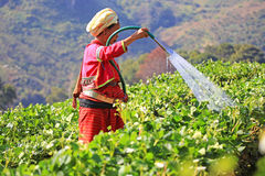 Donna dalla pianta di fragola d'innaffiatura della Tailandia Immagini Stock