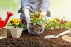 Donna del giardiniere che pianta fiore nel giardino Piantatura del fiore della pansé della molla in giardino Concetto di giardina immagini stock
