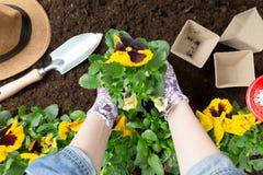 Donna del giardiniere che pianta fiore nel giardino Piantatura del fiore della pansé della molla in giardino Concetto di giardina immagini stock libere da diritti