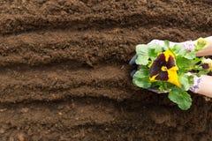 Donna del giardiniere che pianta fiore nel giardino Piantatura del fiore della pans? della molla in giardino Concetto di giardina fotografia stock
