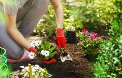 Donna del giardiniere che pianta i fiori nel giardino di estate alla mattina Immagini Stock