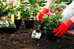 Donna del giardiniere che pianta i fiori nel giardino di estate alla mattina Fotografia Stock Libera da Diritti