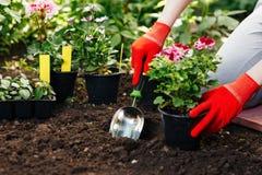 Donna del giardiniere che pianta i fiori nel giardino di estate alla mattina Immagine Stock Libera da Diritti