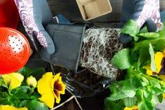 Donna del giardiniere che prende la pianta della pansé dal vaso di plastica per piantarlo nel giardino Piantatura del fiore della fotografia stock libera da diritti