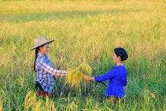 Donna 2 dell'agricoltore dell'Asia che tiene un riso con la paglia nel campo fotografia stock libera da diritti