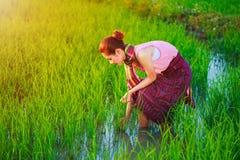 Donna dell'agricoltore che lavora nel giacimento del riso Immagine Stock Libera da Diritti