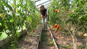 Donna dell'agricoltore che seleziona i pomodori organici in serra stock footage