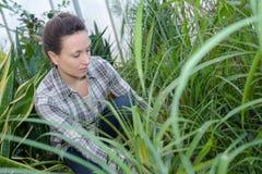 Donna dell'agricoltore con lo strumento di giardinaggio che funziona nella serra del giardino Immagine Stock Libera da Diritti