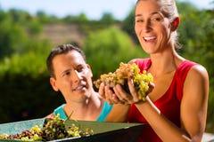Donna ed uomo che lavorano con la mietitrice dell'uva Fotografia Stock