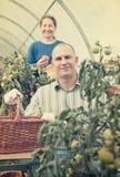 Donna ed uomo in pianta di pomodori Fotografia Stock Libera da Diritti