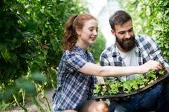 Donna ed uomo in pianta di pomodori alla serra fotografia stock libera da diritti