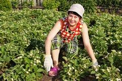 Donna-giardiniere e fragola sbocciante Fotografie Stock Libere da Diritti