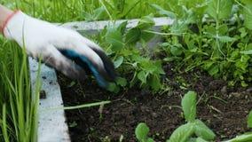 Donna in guanti che lavorano ad un'azienda agricola - rimuove le erbacce dal letto del giardino, diserba il primo piano a terra video d archivio