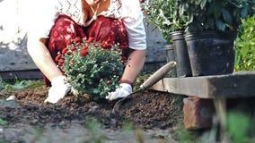 Donna in guanti protettivi che pianta un cespuglio di un crisantemo rosso nella terra Movimento lento stock footage