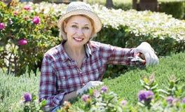 Donna impegnata in cespugli di giardinaggio immagini stock