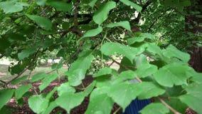 Donna incinta sorridente nell'ambito di vecchi rami di albero Movimento delle foglie in vento stock footage