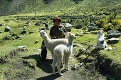 Donna indigena con una coppia di alpaca dentro nel Perù Immagine Stock Libera da Diritti
