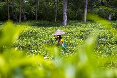 Donna lavoratrice nel giardino di tè su Moulovibazar, Bangladesh immagine stock