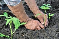 Donna maggiore che pianta un semenzale del pomodoro Fotografia Stock Libera da Diritti