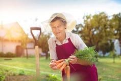Donna maggiore che raccoglie le carote Immagine Stock Libera da Diritti