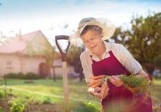 Donna maggiore che raccoglie le carote Fotografia Stock