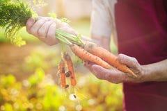 Donna maggiore che raccoglie le carote Fotografie Stock