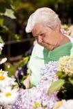 Donna maggiore con il taglio delle cesoie di giardino del fiore Immagine Stock Libera da Diritti