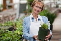 Donna maggiore con la pianta conservata in vaso Fotografia Stock Libera da Diritti