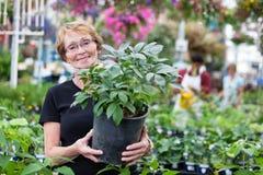Donna maggiore sorridente che tiene pianta conservata in vaso fotografia stock