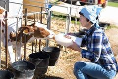 Donna matura che prende cura delle vacche da latte nell'allevamento fotografia stock libera da diritti