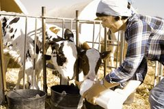 Donna matura che prende cura delle vacche da latte nell'allevamento fotografia stock