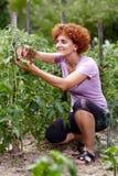 Donna nel giardino del pomodoro Immagine Stock